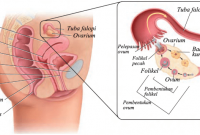 Organ Reproduksi Wanita Pengertian Fungsi Dan Penjelasannya Lengkap Penjaskes Co Id