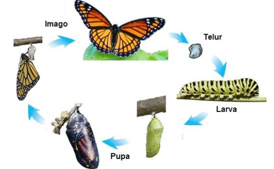 Hasil gambar untuk daur hidup kupu - kupu